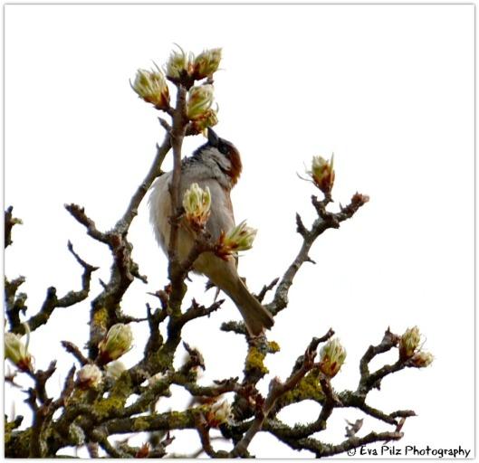 Spatz am Birnbaum