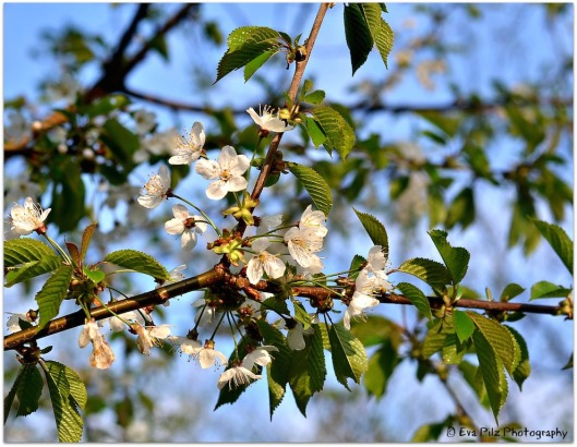 Frühlingsblüten4
