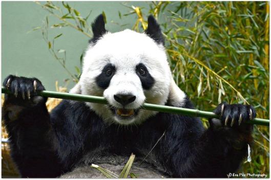 Pandabär b. Essen