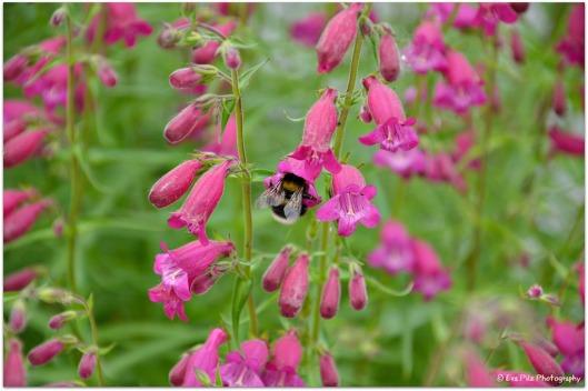 rosa Glöckchen mit Biene
