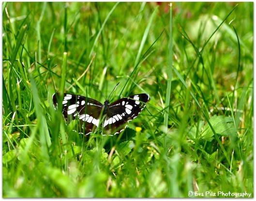 Schmetterling *Kleiner Eisvogel*