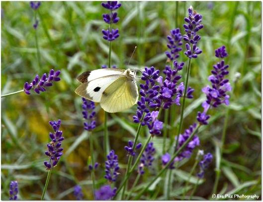 Kohlweisling auf Lavendel