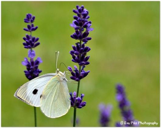 Lavendel mit Kohlweisling