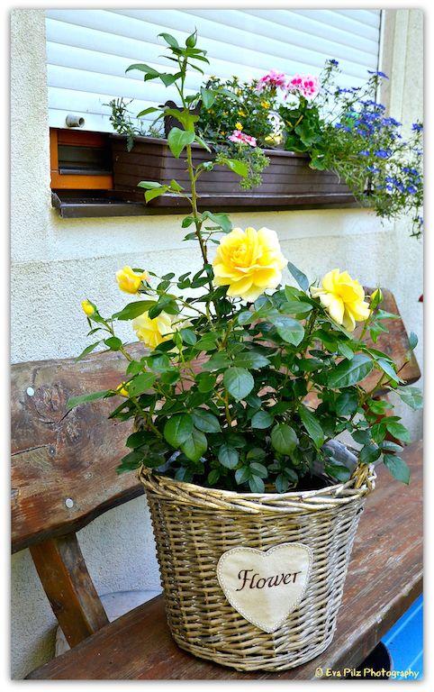 Rosenstock gelb