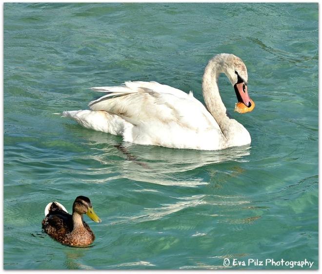 Schwan und Ente