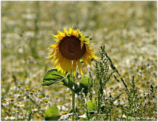 Sonnenblume18