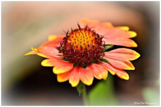Kokardenblume2