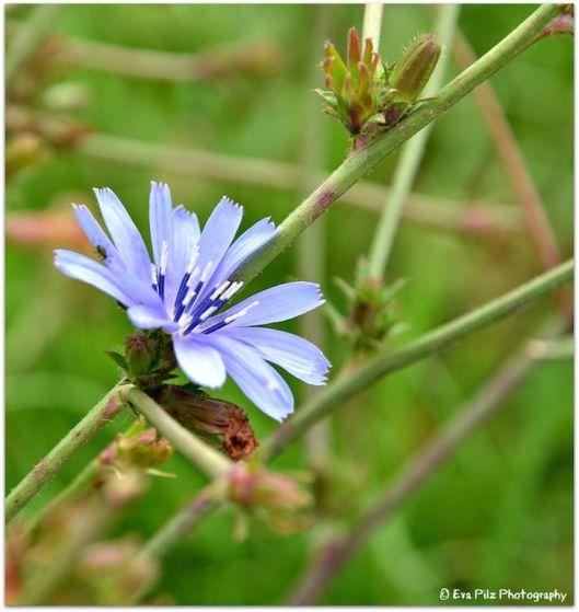 blaue Blume8