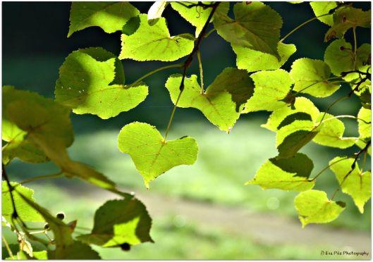 grünes Herzblatt