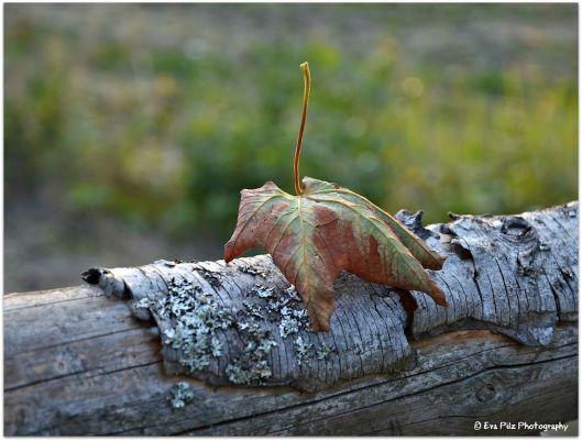 Herbstblatt5