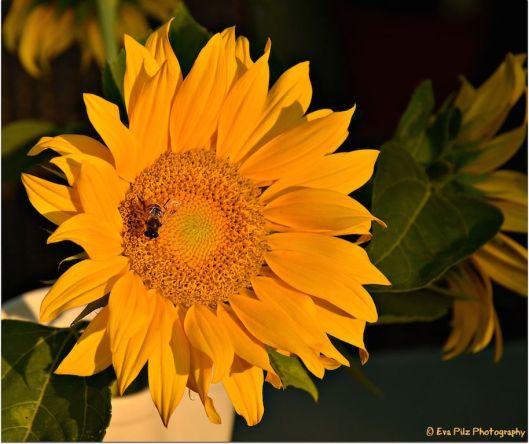 Sonnenblume mit Besuch