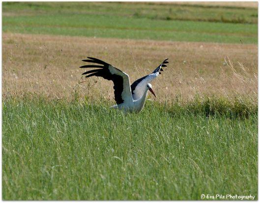 Storch vor Abflug