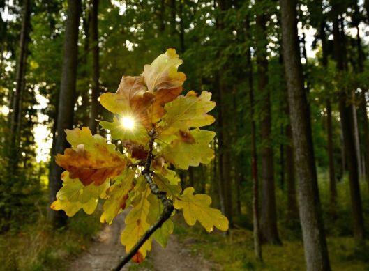 Eichenblatt mit Sonnenschein