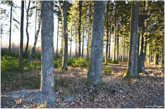 abendlicher Wald