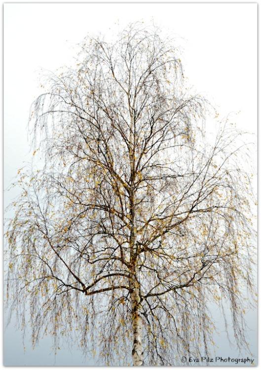 Birkeim November