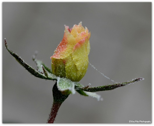Rose - Frost