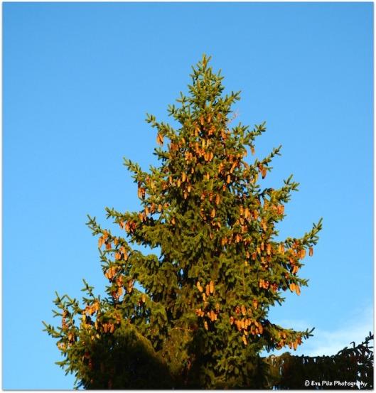 Tannenbaum mit Zapfen.jpg