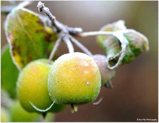 Frostäpfel