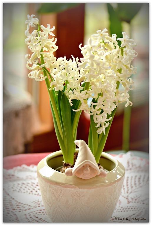 Hyazinthe weiß
