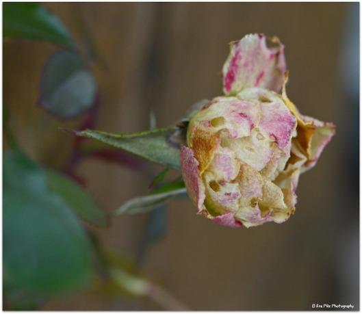 Rose im Jänner.jpg