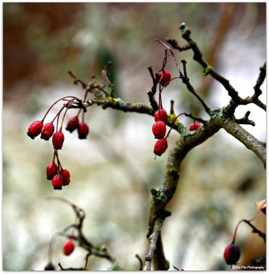 rote Beeren4.jpg