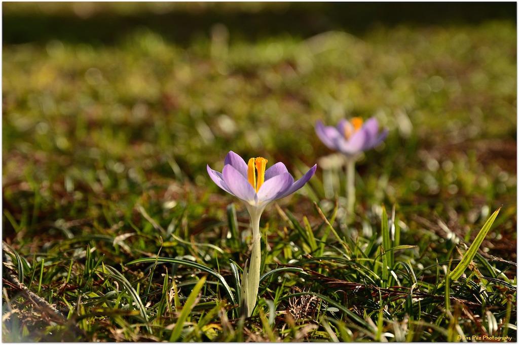 Frühlingsboten.jpg
