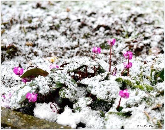 Alpenveilchen im Schnee