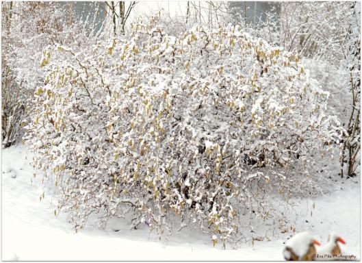 Korkenzieherhasel Schnee