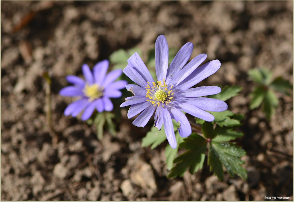 Aster5