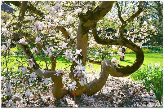 Magnolienbaum Herz.jpg