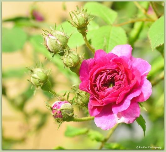 Ramblerrose Garten