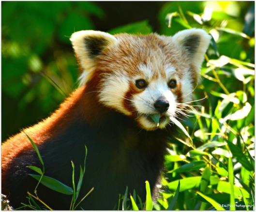 roter Panda15