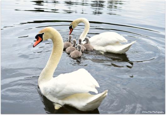 Schwanenfamilie 3