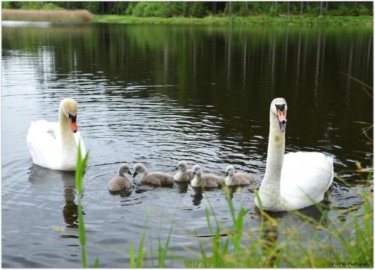 Schwanenfamilie1.jpg