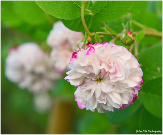 Rose 2-färbig