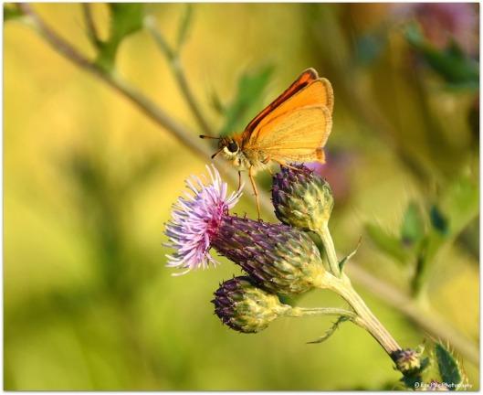 Schmetterling auf Distel4