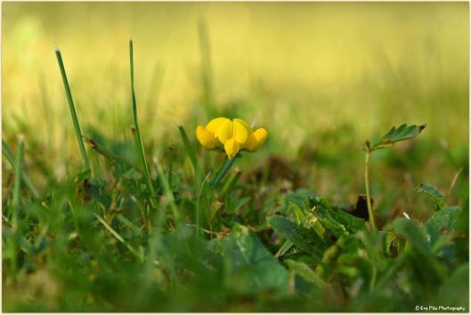 gelbe Blume - Gartenwiese