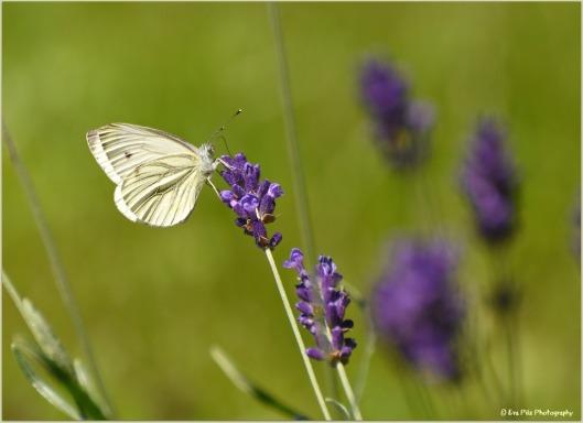 Kohlweißling auf Lavendel3