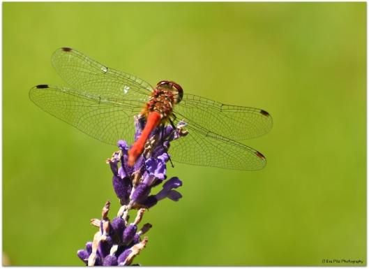 Libelle auf Lavendel