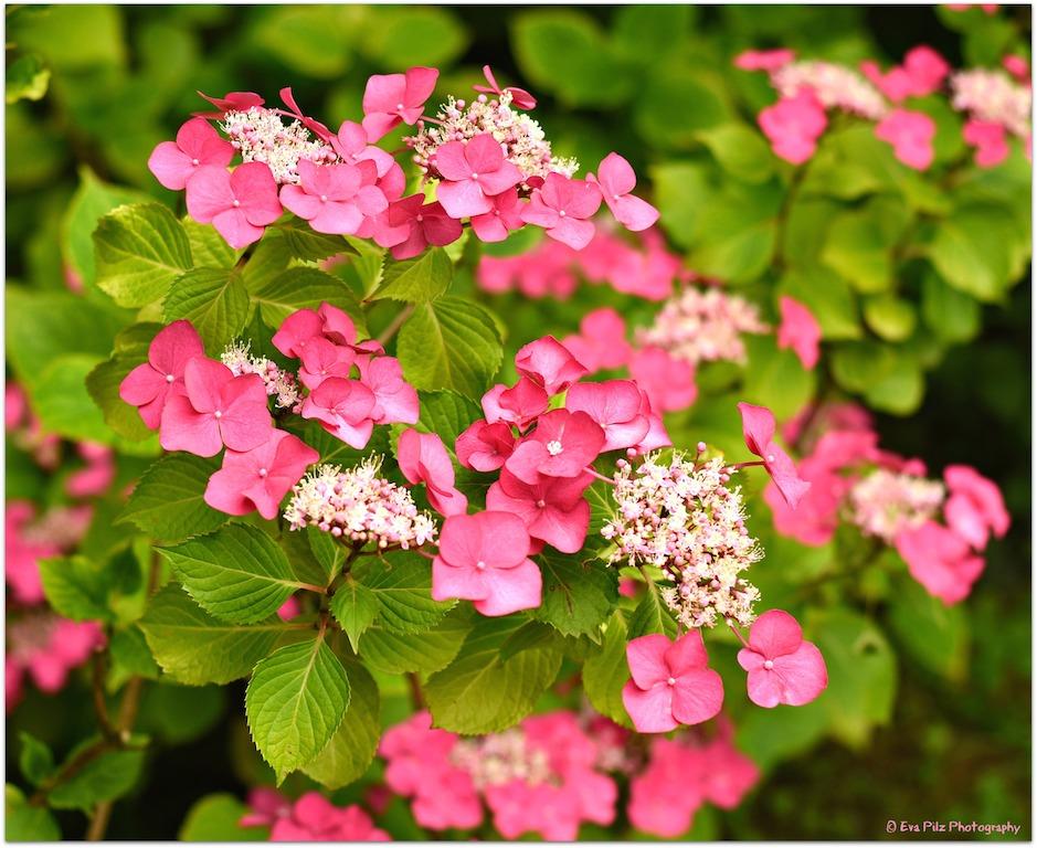 rosa Hortensie.jpg