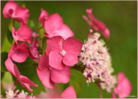 rosa Hortensie1