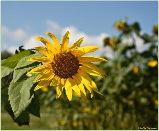 Sonnenblume22.jpg