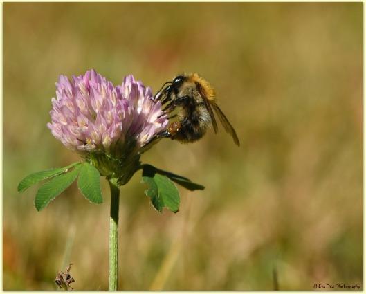 Klee mit Biene.jpg
