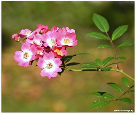 Rose Mozart.jpg