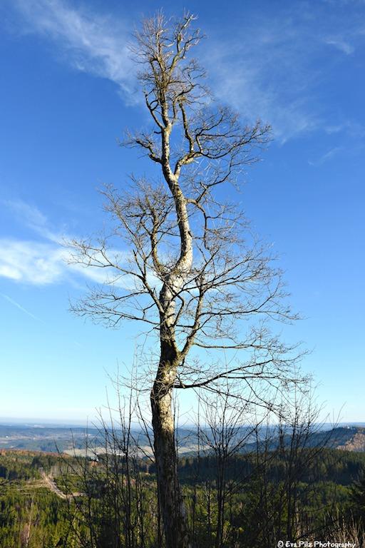Baum Nebelstein.jpg