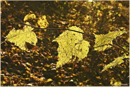 gelbe Ahornblätter.jpg