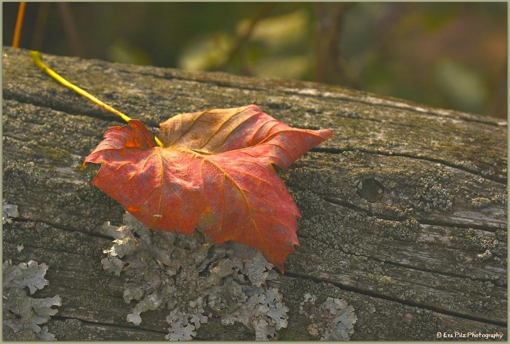 Herbstblatt rötlich.jpg