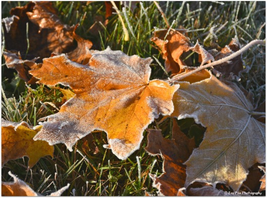 gefrorenes Blatt2.jpg