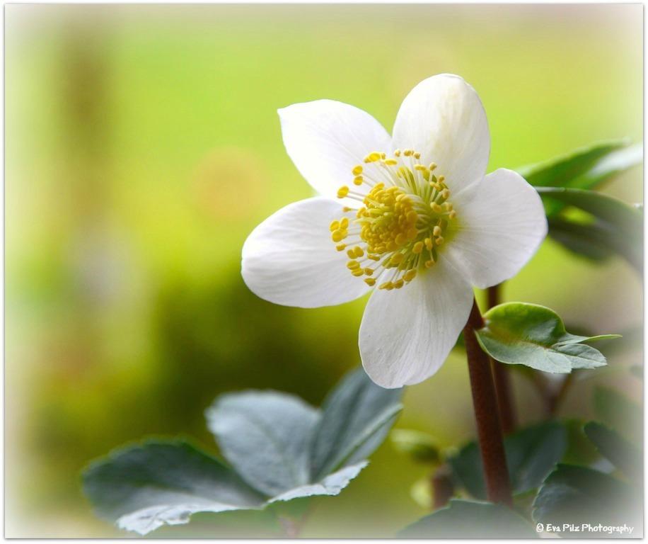 Blüte Schneerose.jpg