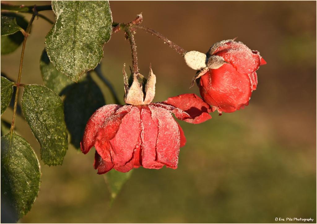 rosen-raureif